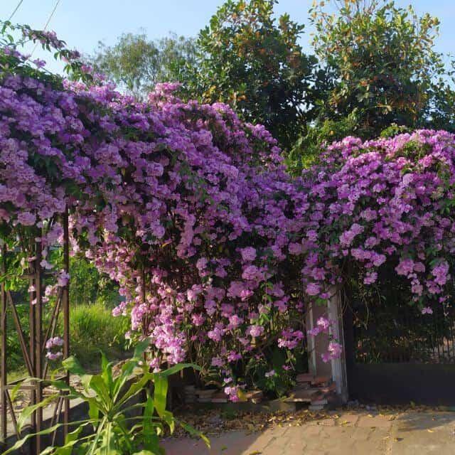 Hoa lan tỏi rất được trồng ở cổng nhà mang nhiều ý nghĩa