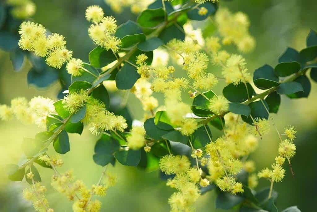 Hoa Mimosa – Acacia podalyriifolia