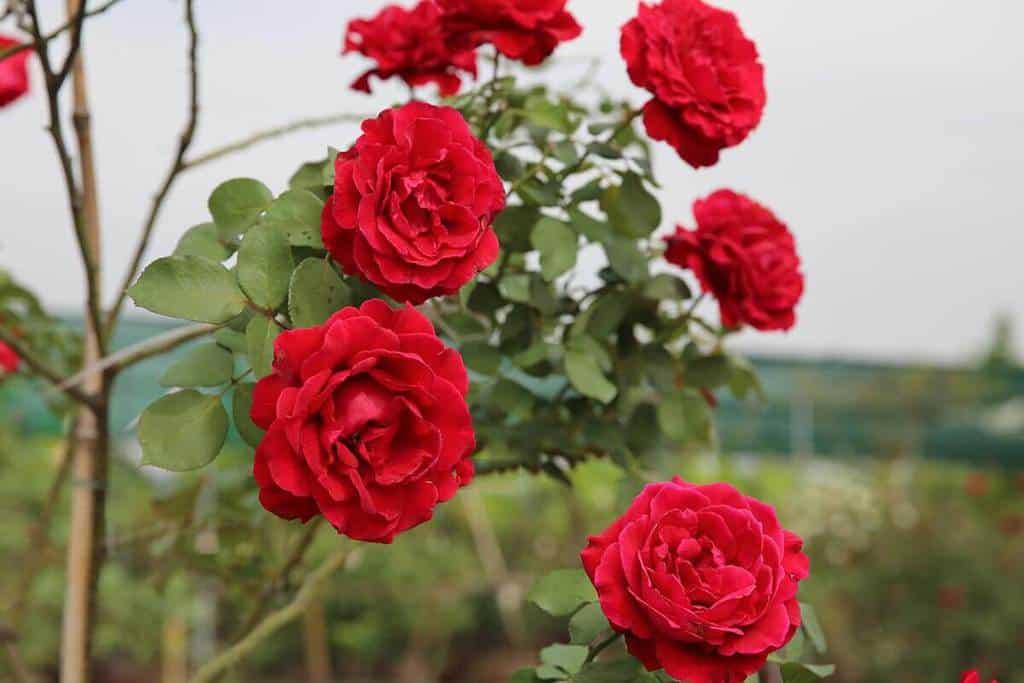 Quy trình nhân giống cây hoa hồng cổ hải phòng (Rosa sp.) bằng phương pháp giâm cành