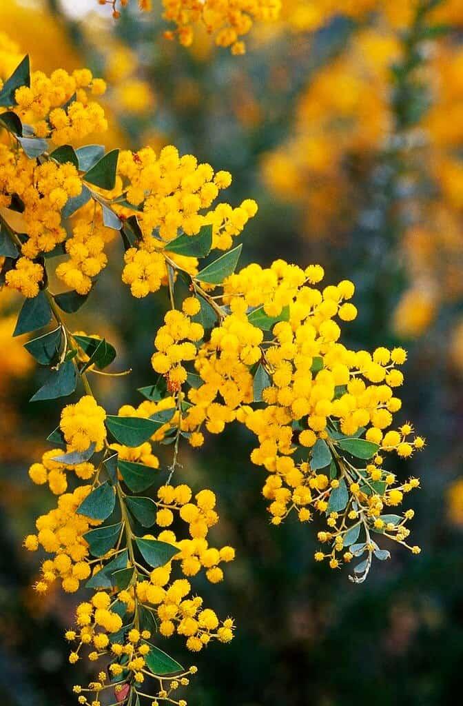 Hình ảnh hoa Mimosa