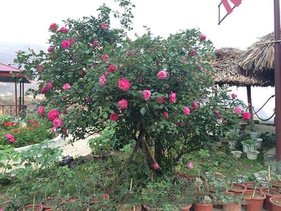 Hoa hồng cổ Sapa được ưa chuộng trồng trong gia đình