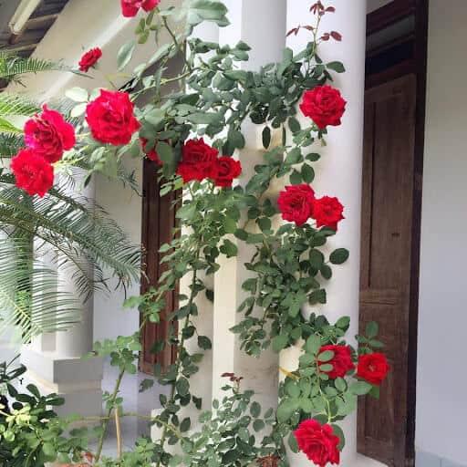 Hoa hồng cổ Hải Phòng được ưa chuộng trồng tạo khuôn viên
