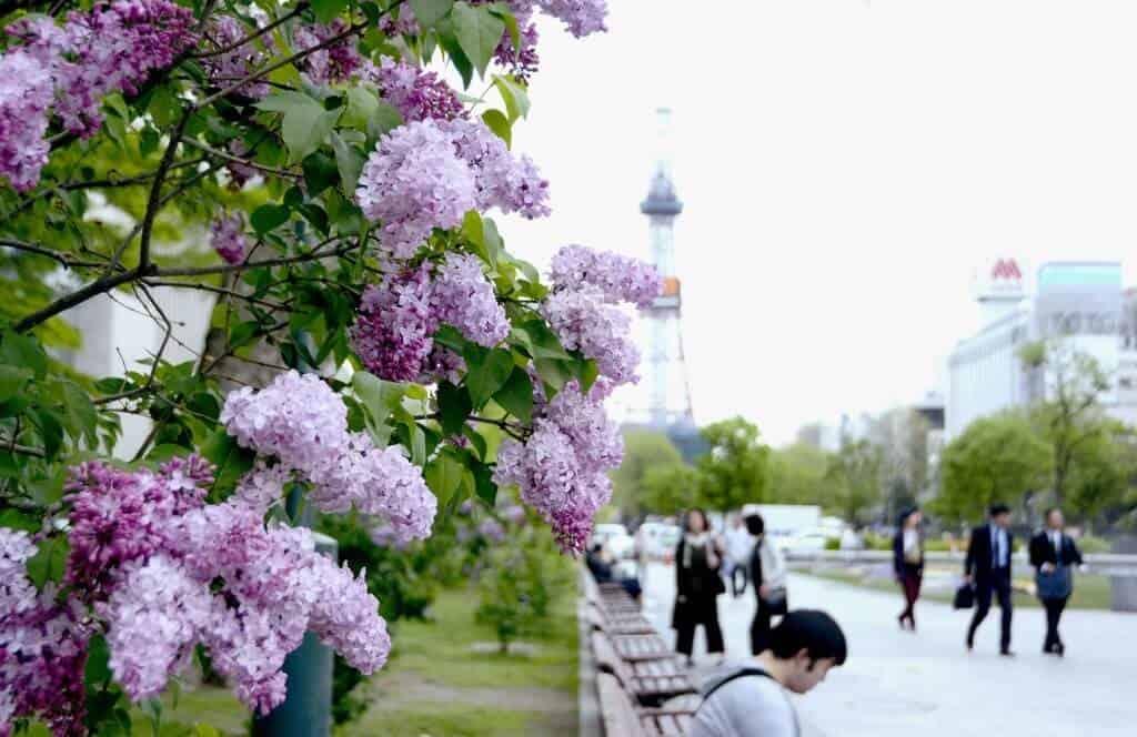 Tử đinh hương được trồng tạo khuôn viên