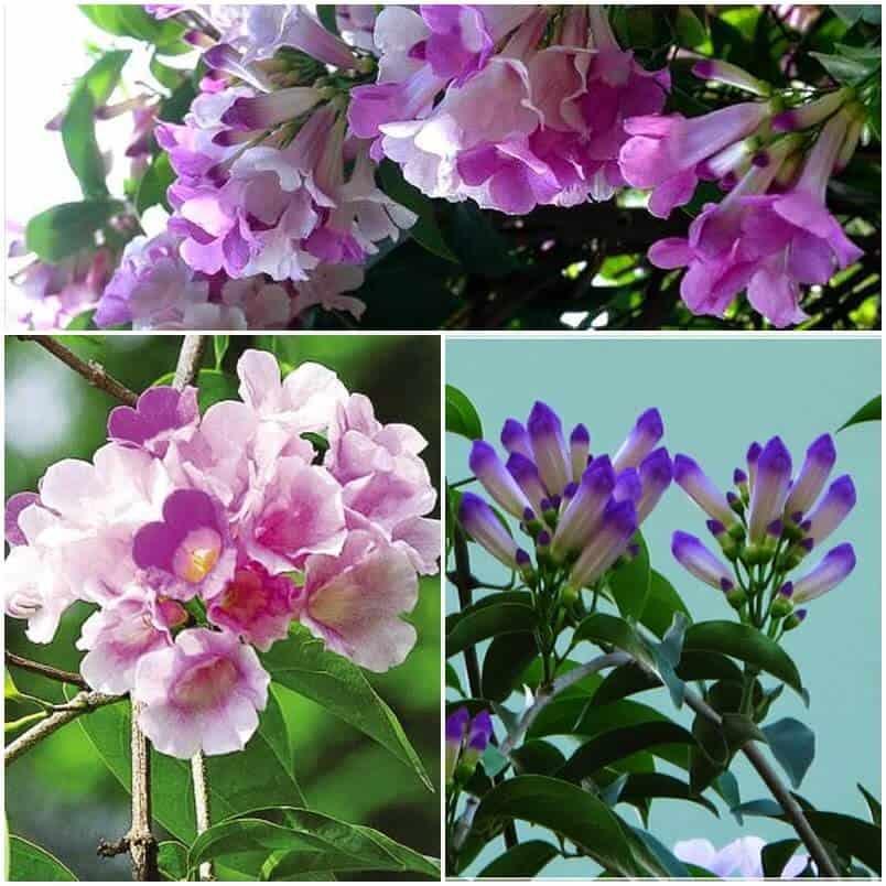 Hình ảnh hoa lan tỏi qua các giai đoạn