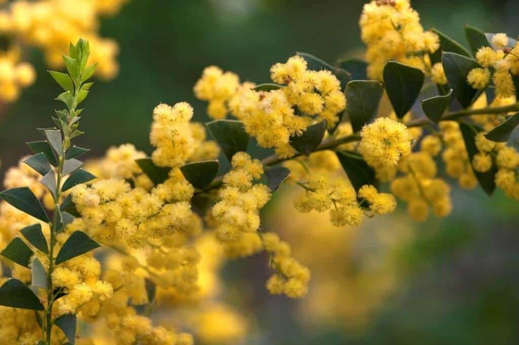 Hoa Mimosa mang nhiều ý nghĩa trong tình yêu