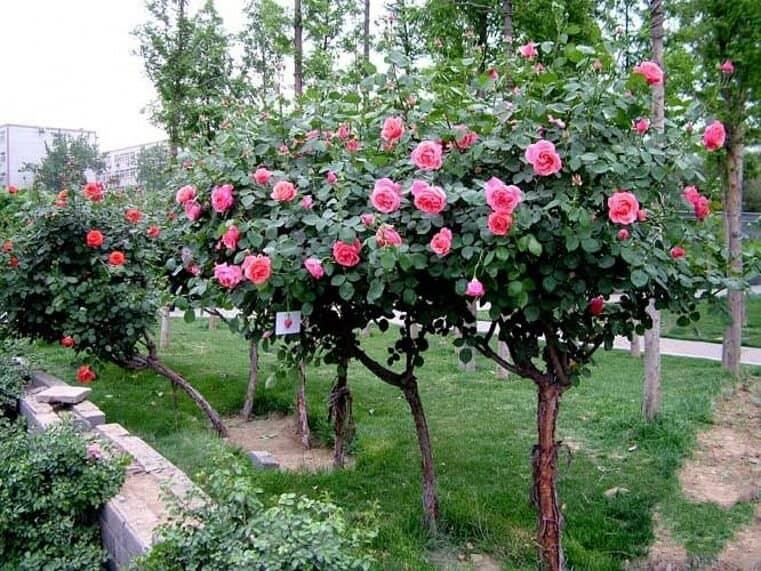 Hình ảnh toàn cây hồng cổ Sapa