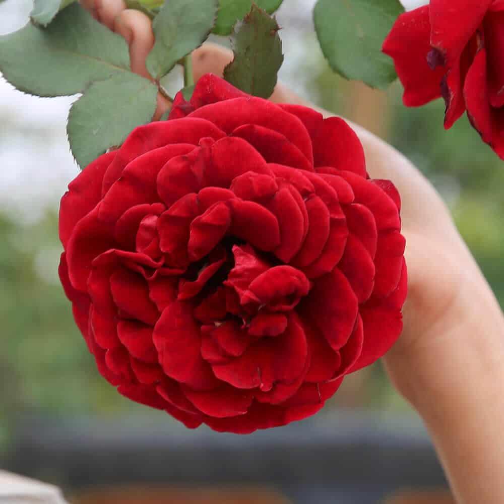 Hoa hồng cổ Hải Phòng có rất nhiều công dụng trong chăm sóc sức khỏe, sắc đẹp