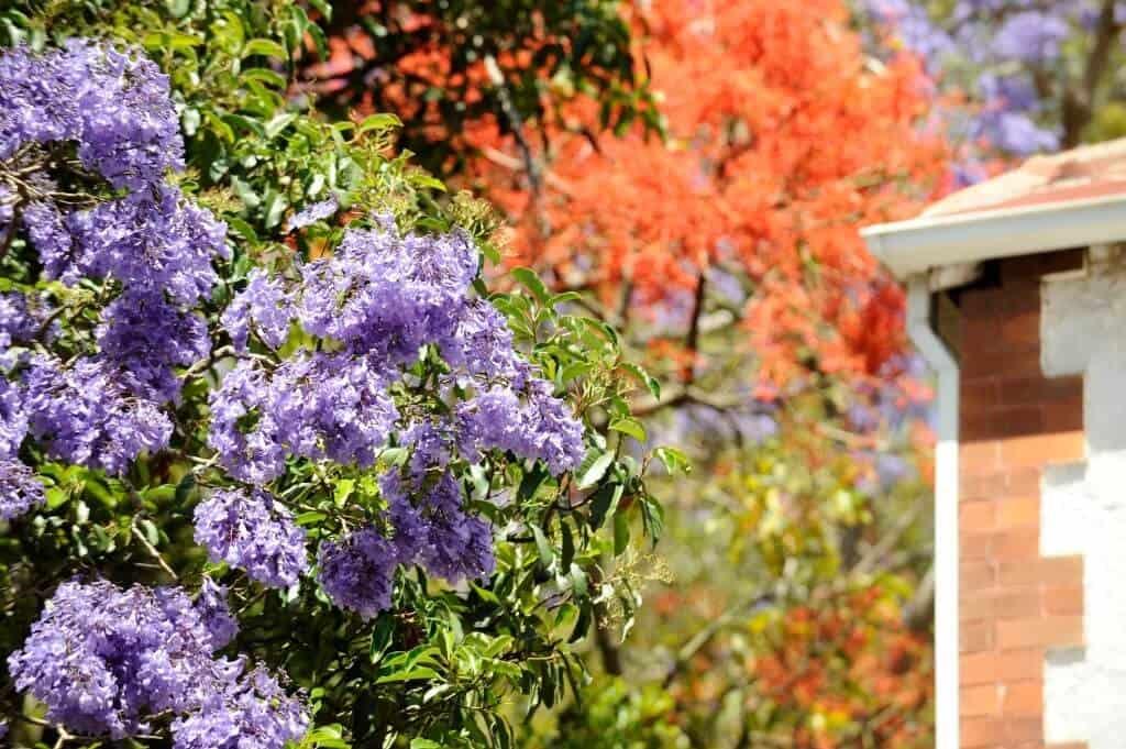 Hình ảnh hoa phượng tím thấp thoáng cùng phượng vĩ