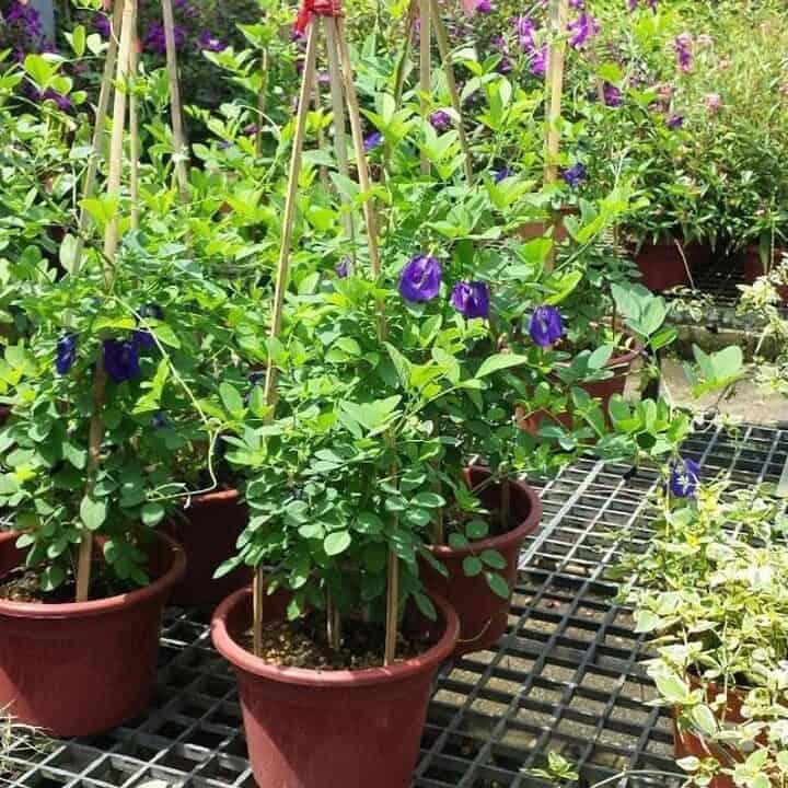 Hoa đậu biếc được trồng trong chậu
