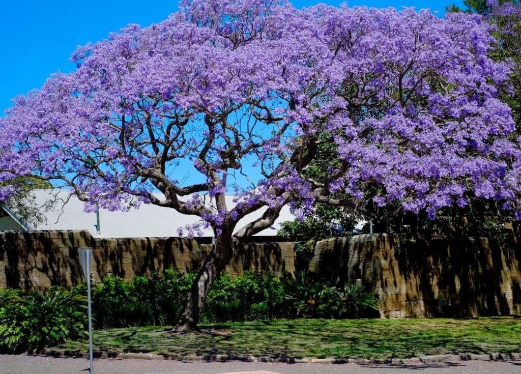 Hình ảnh cả cây hoa phượng tím