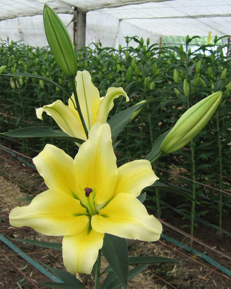 lily miền bắc trồng dịp tết