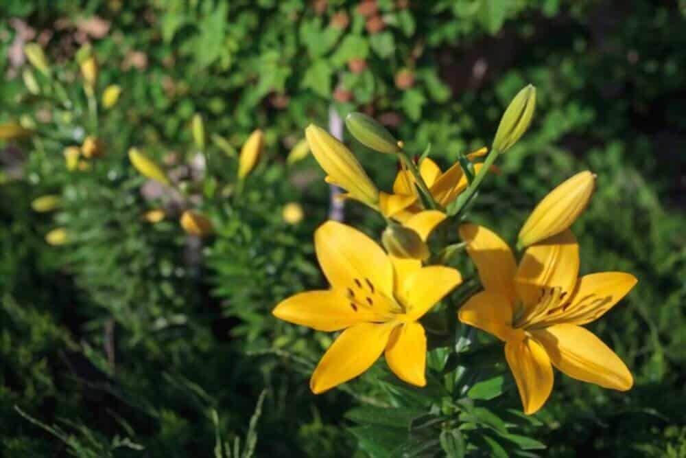 lily vàng