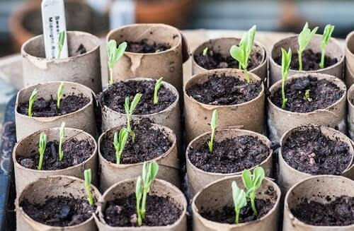 Hạt hoa đậu biếc vừa mới nảy mầm