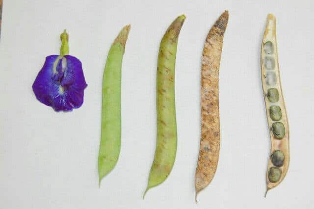 Quả và hạt hoa đậu biếc