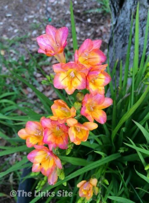 hoa freesia lan nam phi
