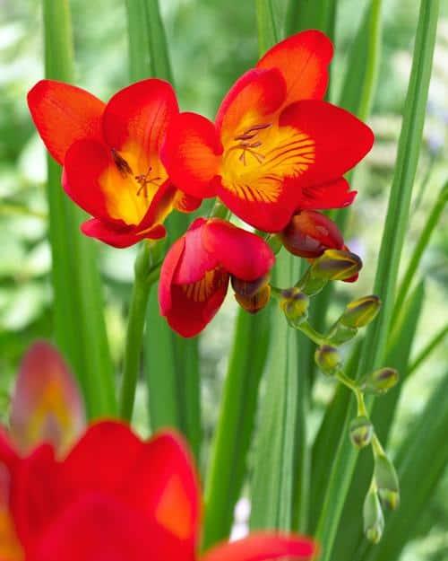 hoa freesia lan nam phi đỏ