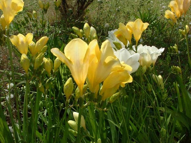 hoa freesia lan nam phi vàng