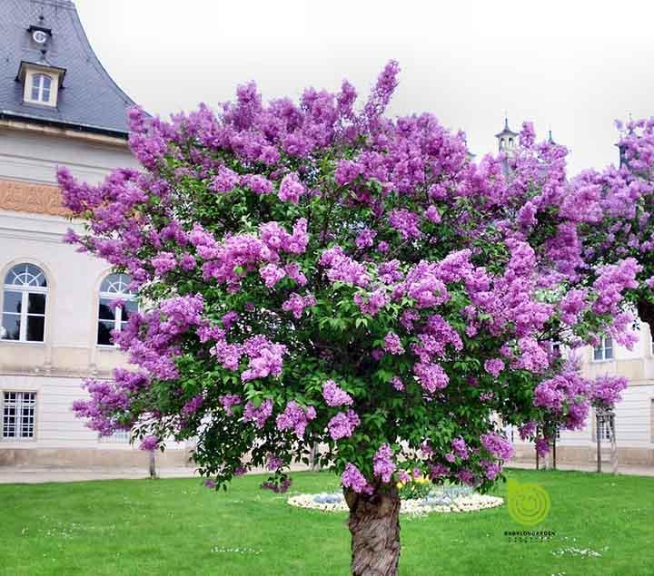 hoa tử đinh hương trong vườn