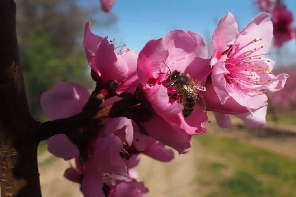 Lưu ý những điểm chú ý để hoa đào nở đúng Tết nhé