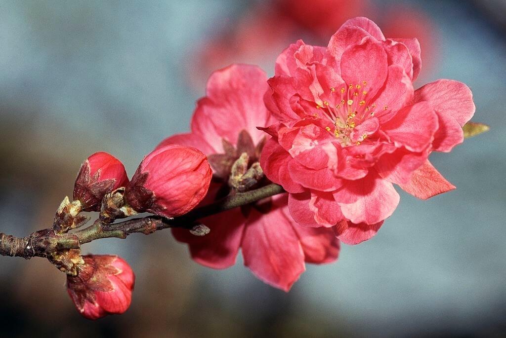 Hình ảnh hoa đào bích
