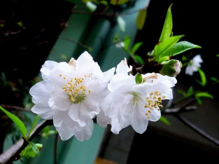 Hình ảnh hoa bạch đào