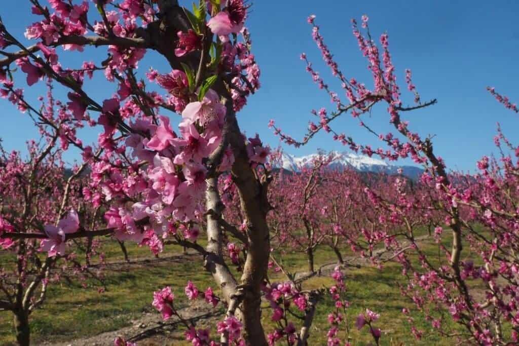 Thân cây hoa đào