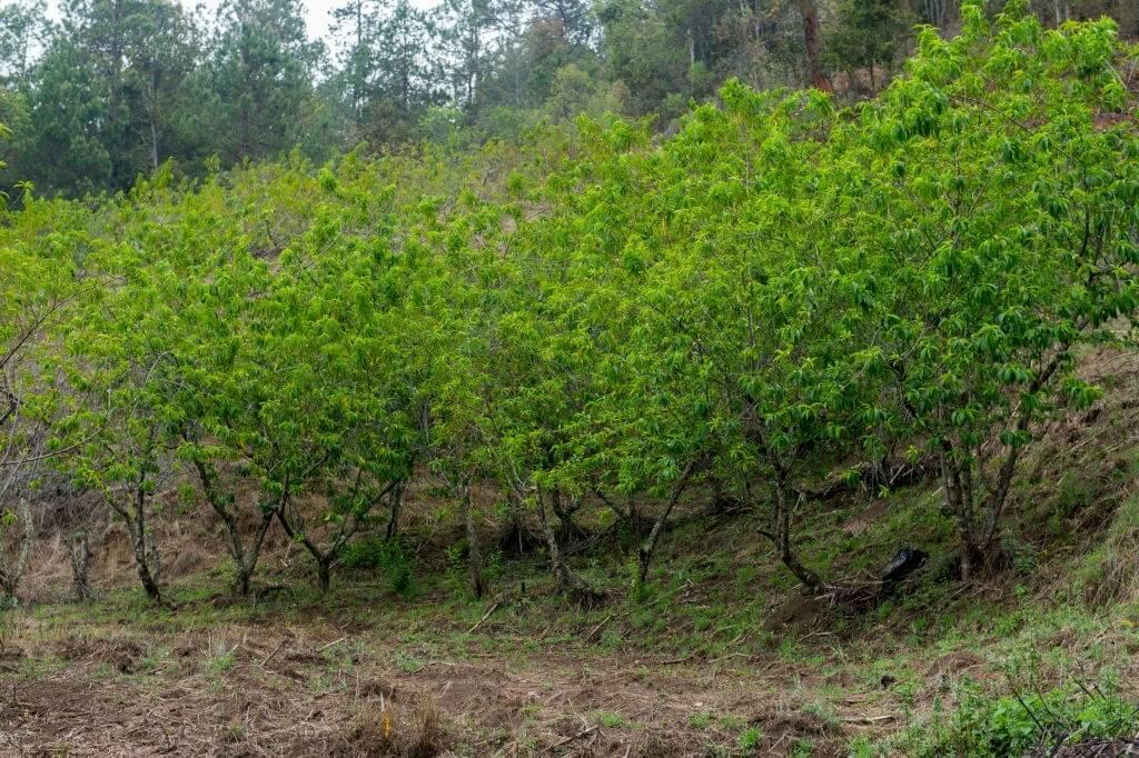 Hoa đào được trồng ngày một phổ biến