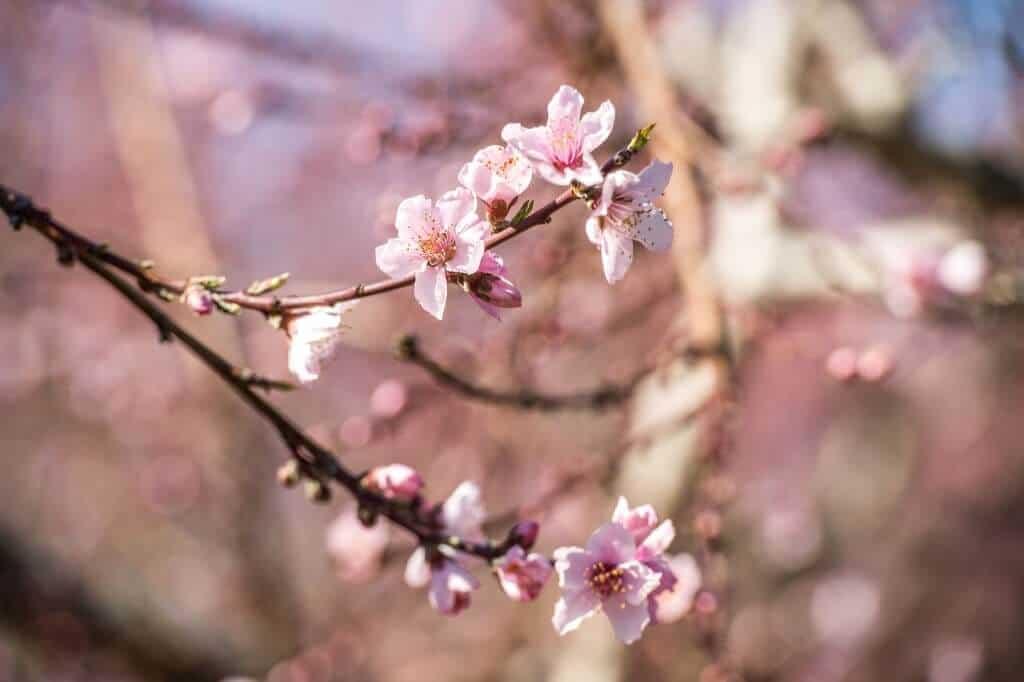Hình ảnh hoa đào pha
