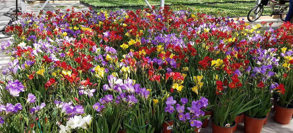 vườn hoa freesia lan nam phi