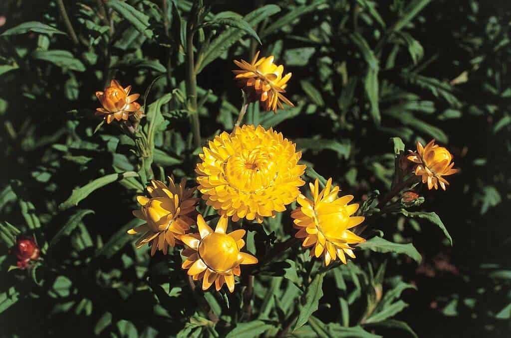 Hình ảnh hoa và lá cây hoa bất tử