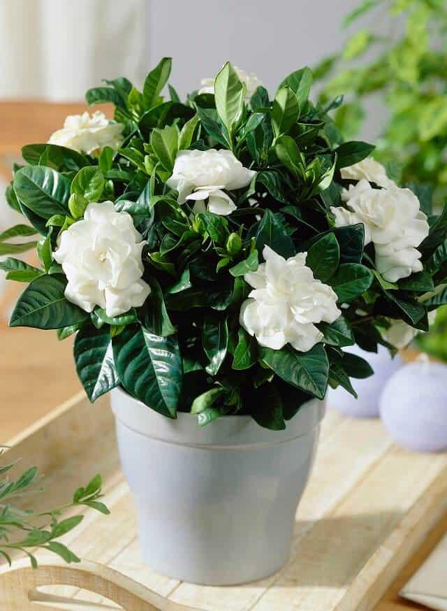 Hoa nhài được ưa chuộng trong trang trí