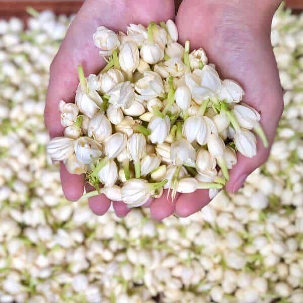 Hoa nhài được thu hoạch, sấy khô để dùng làm thuốc