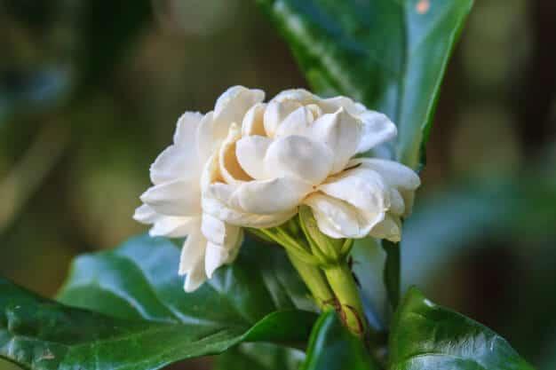 Hình ảnh hoa nhài tuyệt đẹp