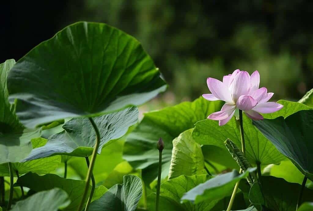 Hình ảnh thân, lá cây hoa sen
