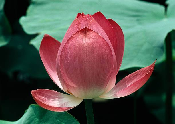 Màu hoa sen tượng trưng cho nhiều nét đẹp cao cả
