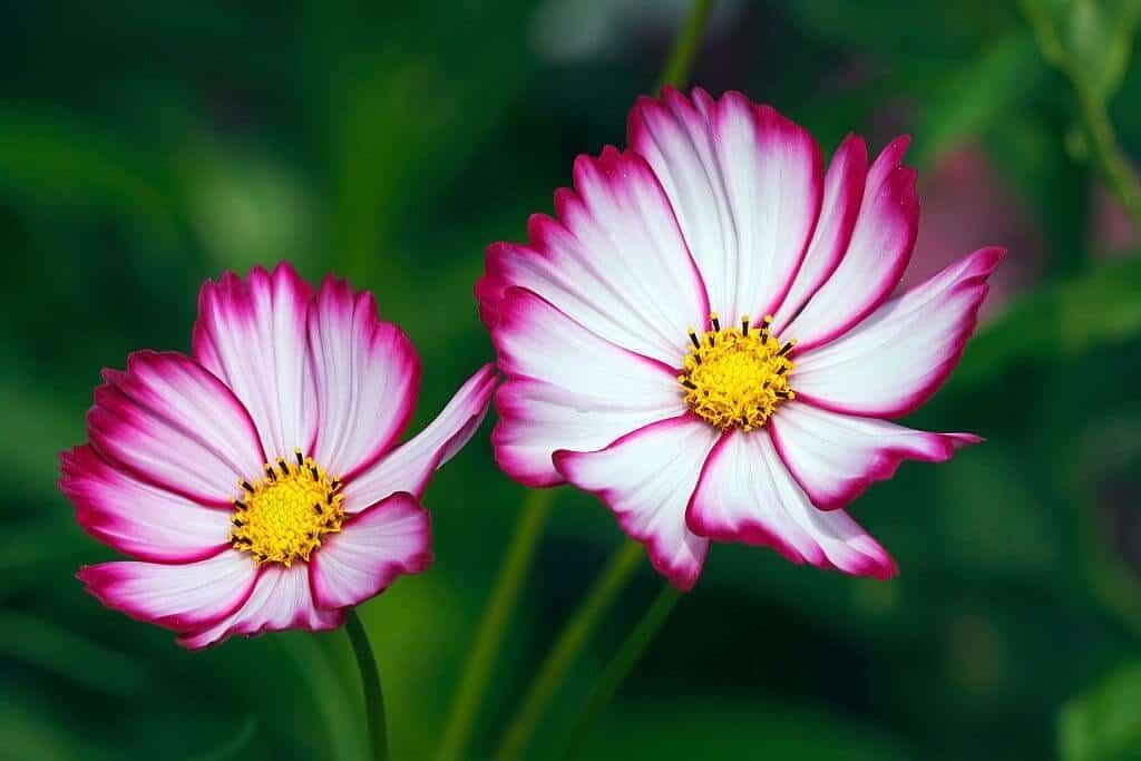 Hoa sao nhái với nhiều ý nghĩa tuyệt vời