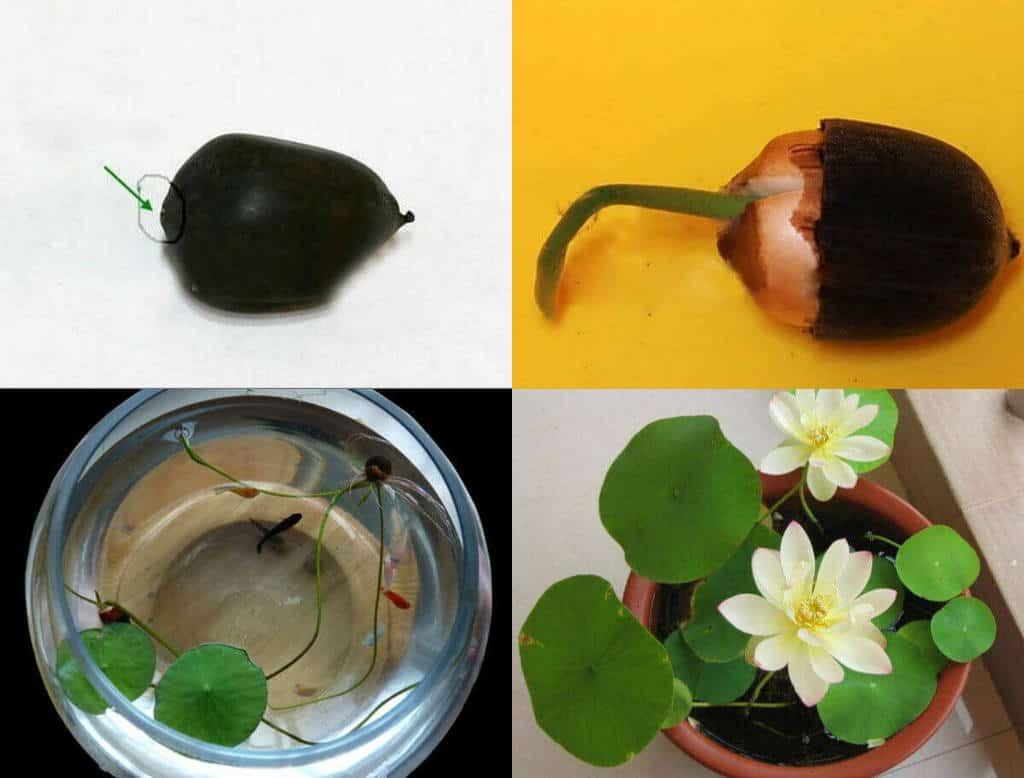 Hình ảnh hạt sen đem nhân giống