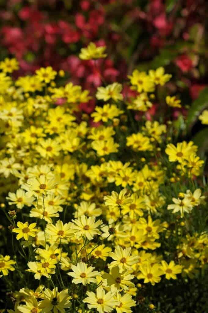 Chú ý bón phân cho cây để thu hoa rực rỡ nhất