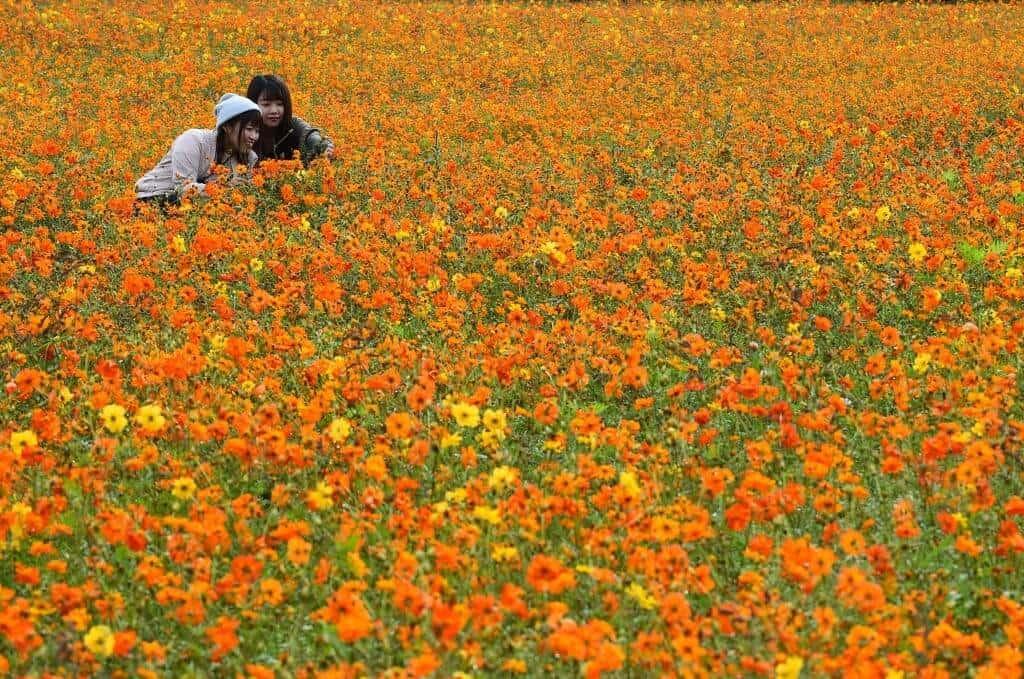 Hoa sao nhái được trồng khắp mọi nơi