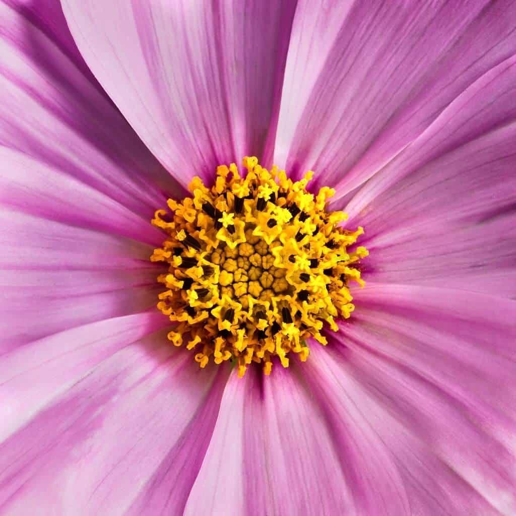 Hình ảnh hoa sao nhái