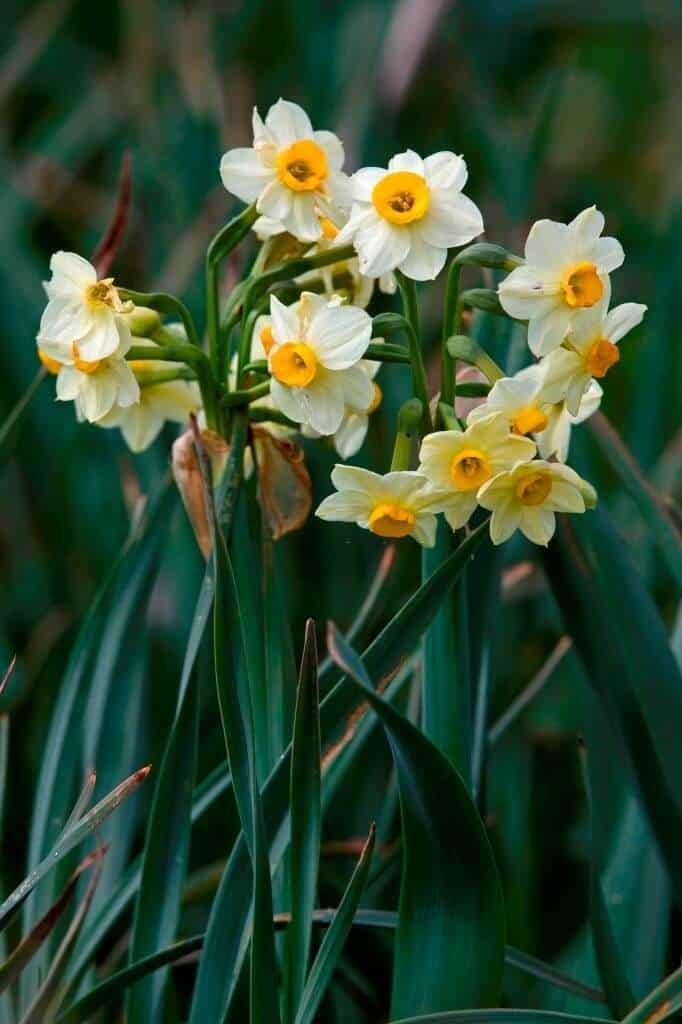 Hình ảnh hoa thủy tiên