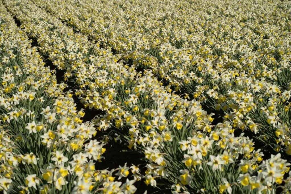 Hoa được trồng dày đặc ở nhiều vùng