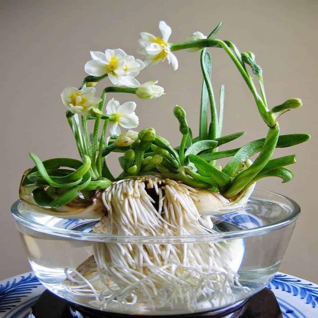 Hoa thủy tiên được ưa chuộng trồng tạo cảnh quan
