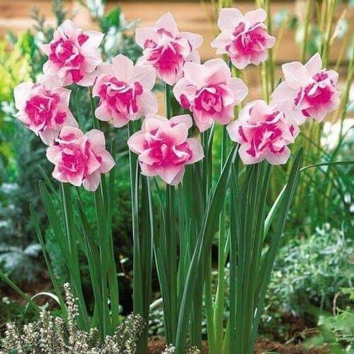 Hoa thủy tiên màu hồng