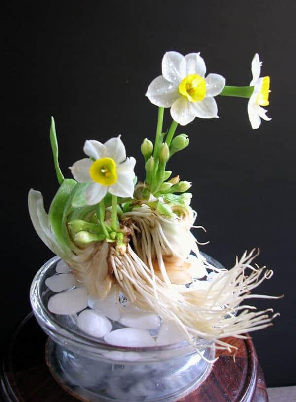 Hoa thủy tiên được trồng trong sỏi