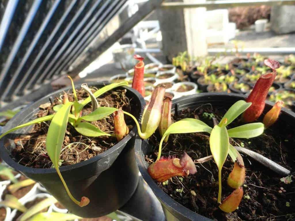 Cây nắp ấm thường được trồng tạo cảnh quan trong nhà