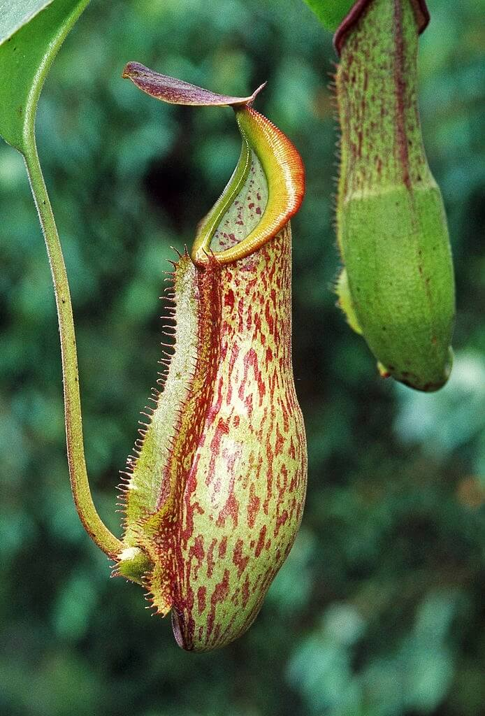 Hình ảnh thường gặp của cây nắp ấm