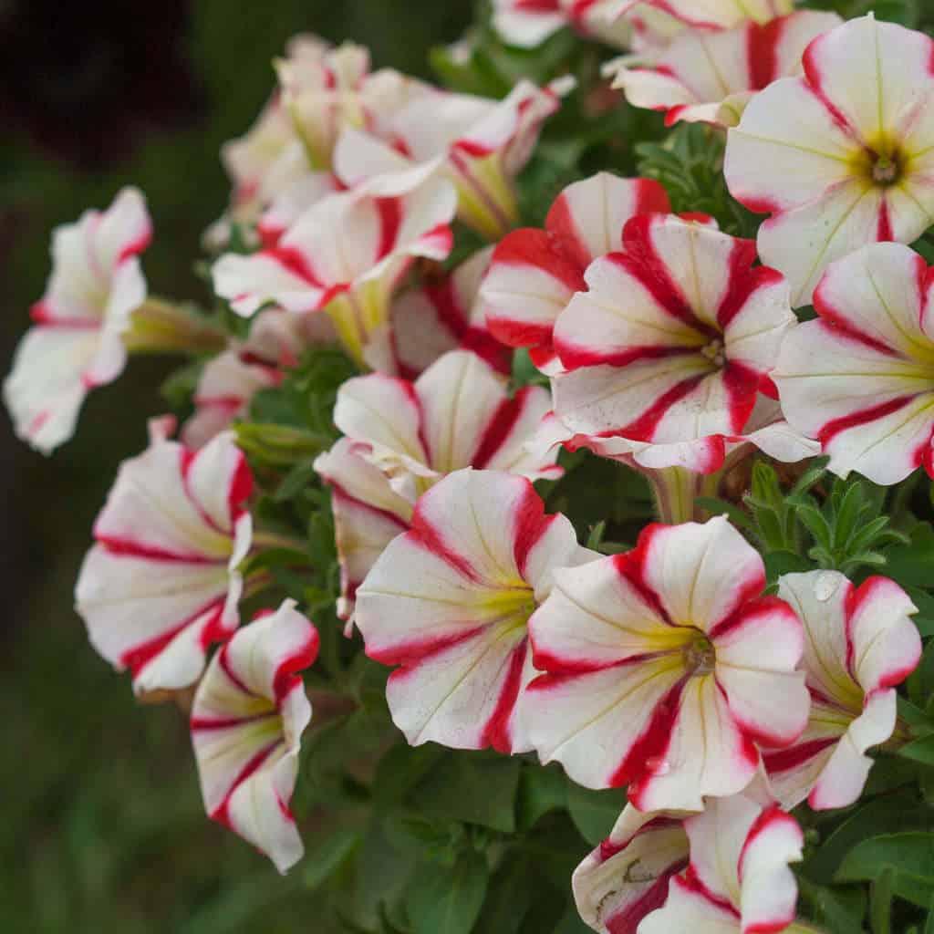 Hình ảnh hoa dạ yến thảo đơn