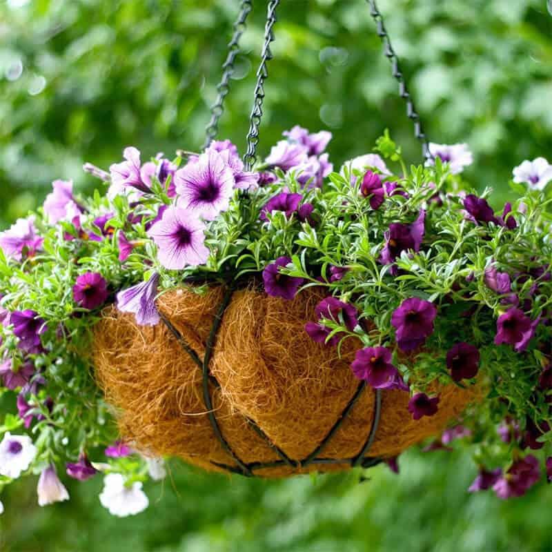 Ngoài trang trí, hoa dạ yến thảo có rất nhiều công dụng khác