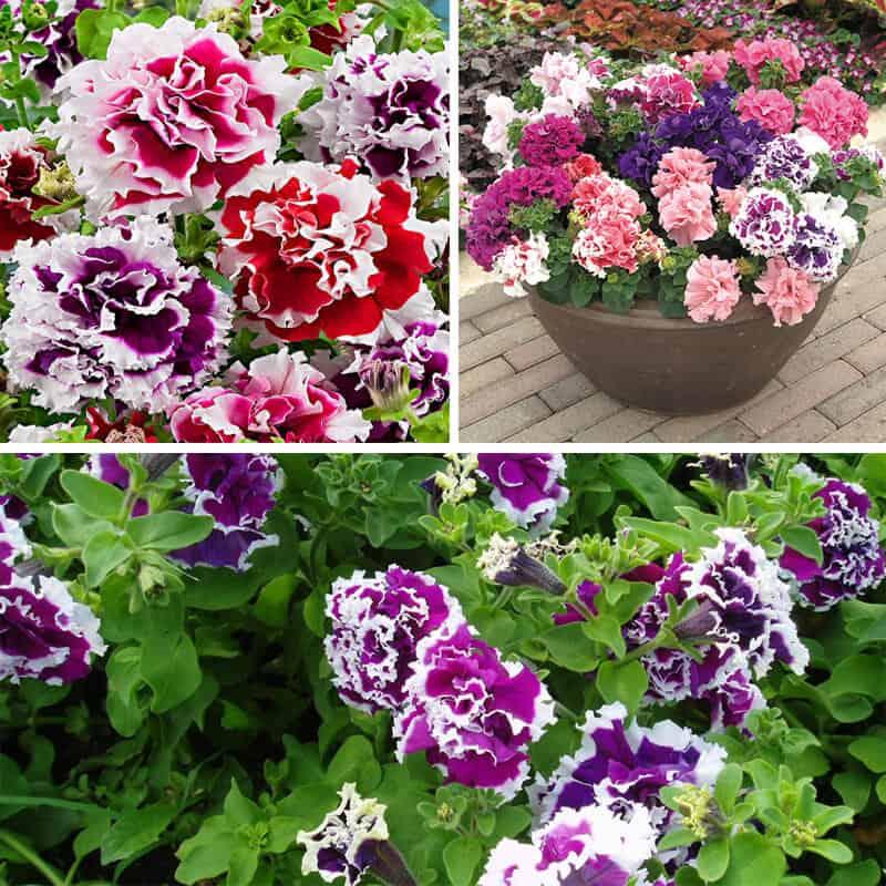 Hình ảnh hoa dạ yến thảo kép
